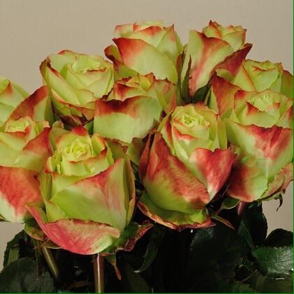 Buy Rose