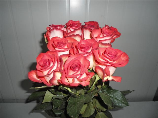 Buy Blush Roses