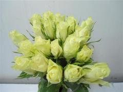 Rose Athena