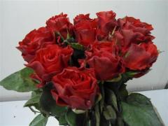Rose Samurai