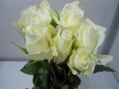 White Rose Hig & Pure